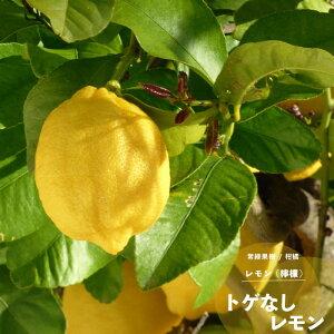 果樹苗 柑橘 レモン 苗木 トゲなしレモン 1年生 接ぎ木 4.5号(直径13.5cm) ポット苗 果樹苗木 常緑樹 レモンの木