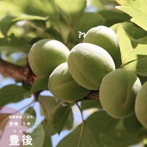 果樹苗 梅 苗木 豊後 (ぶんご) 1年生 接木 4.5号(直径13.5cm) ポット苗 果樹苗木 花木 ウメ 実梅
