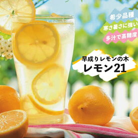 果樹苗 柑橘 レモン 苗木 早成りレモン レモン21 3号(直径9cm) ポット苗 果樹苗木 常緑樹 レモンの木