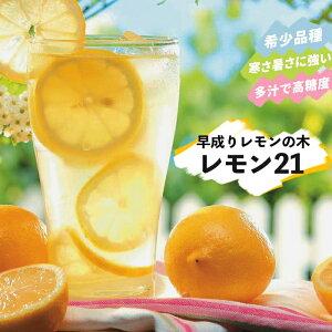 果樹苗 柑橘 レモン 苗木 早成りレモン レモン21 5号鉢 2年物 果樹苗木 常緑樹 レモンの木