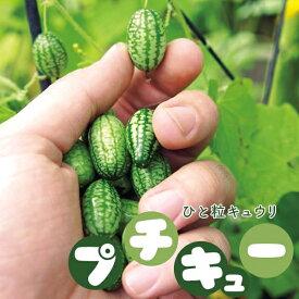 キュウリ 苗 野菜苗 一粒きゅうり プチキュー 3号 (直径9cm) ポット苗 胡瓜 ミニサイズ グリーンカーテン