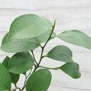 常緑樹 榊 苗木 本榊 (ホンサカキ) ポット苗 植木 庭木 生垣 さかき 神棚