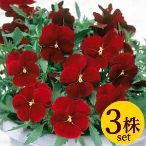 よく咲くスミレクランベリー3個セットパンジー ビオラ すみれ 苗 寄せ植え
