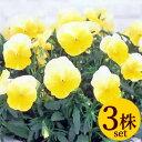 よく咲くスミレレモネード10.5cmサイズ大ポット3ポットセットパンジー ビオラ すみれ 苗 寄せ植え