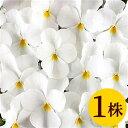 ビオラフローラルパワーピュアホワイト10.5cmサイズ大ポット1ポットパンジー ビオラ すみれ 苗 寄せ植え