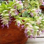 美しい花、このままでドライフラワーになる『オレガノケントビューティー1株』