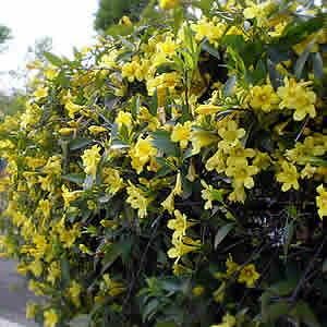 カロライナジャスミン充実3.5号ポット花芽付き 香るお花 つる性 街路樹に使われるほど丈夫で手間無し
