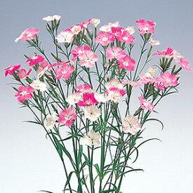 四季咲き色変わり なでしこ初恋 2株セット 宿根草 季節の花苗 切り花 イングリッシュガーデン 寄せ植え等に