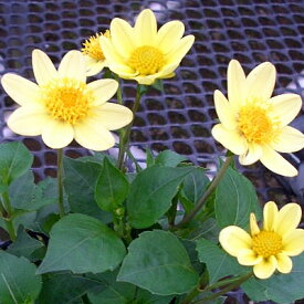ガーデンプチダリア ハミング イエロー 1株 宿根草 切り花 寄せ植え イングリッシュガーデンに