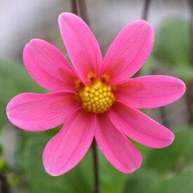 プチガーデンダリア ハミング パッションピンク 1株 宿根草 切り花 寄せ植え イングリッシュガーデンに