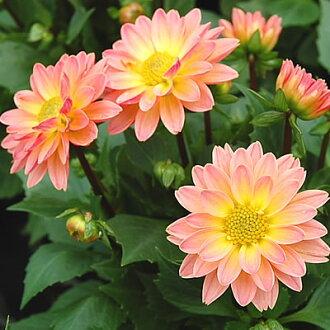 ☆設置投宿處根草營養系微型花園大麗花微笑桃子2股