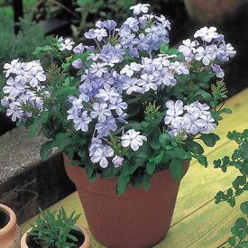 楽天1位 ルリマツリ(プルンバゴ)1株2色から選んでください 花苗 ガーデニング 花壇 庭植え 花の苗