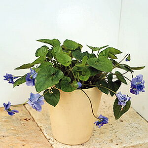 楽天1位 花苗 宿根草 あま〜い香りの八重咲き ニオイスミレ(においすみれ) 紫 1株 香り フレグランス ガーデニング 寄せ植えに