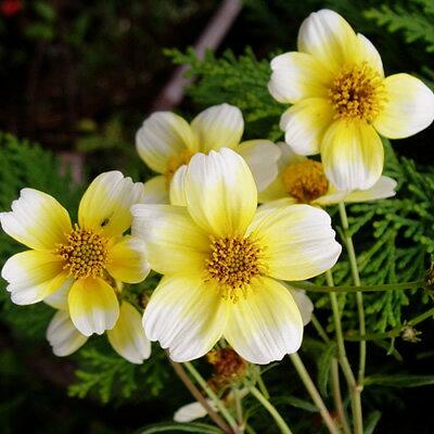 楽天1位宿根草ウインターコスモス イエローキューピッド1株花苗 冬咲き 鉢植え 地植え庭植え 寄せ植え等に