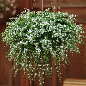 バコパ スノートピア 花のタネ 5粒 宿根草のタネ 第4種または一般郵便発送