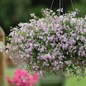 バコパ ブルートピア 花のタネ5粒 宿根草のタネ 第4種または一般郵便発送