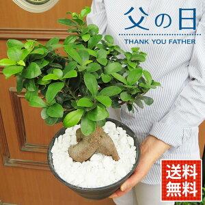観葉植物「ガジュマル」鉢植え