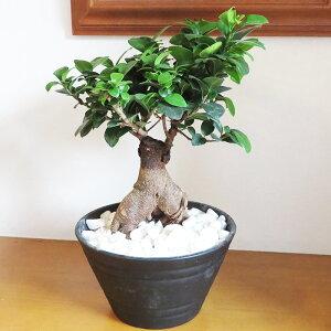 インテリア「がじゅまるの木」鉢苗