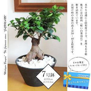 お祝いや贈り物に最適の観葉植物「がじゅまるの木」
