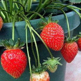 イチゴ ( いちご ) とよのか(豊の香)1株 イチゴ苗