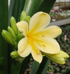 黄花君子蘭(黄花クンシラン)花芽付 5号鉢植え 貴重・黄色色