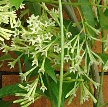7月20日以降お届け予約品 ナイトジャスミン(夜香木)5号鉢8月には一杯咲いて薫ります