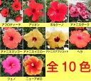 晩秋まで咲き続け毎年楽しめるハイビスカスロングライフシリーズ5号鉢植えこれからどんどん勝手に大きくなります!