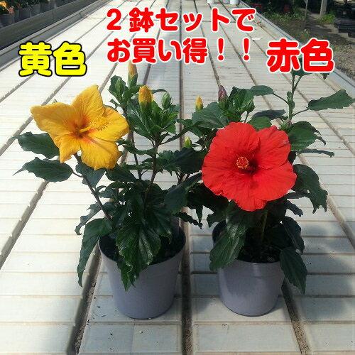 晩秋まで咲き続け毎年楽しめるハイビスカス5号鉢赤・黄2色セットでお買い得