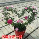 ☆ミニバラ2色咲きますハート仕立て 5号鉢植え