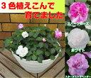 ☆1鉢に3色咲く!カリフォルニアローズ(八重咲きインパチェンス改良品種)の8号鉢これからどんどん咲いてきます!直径24cm鉢植えおひとり2鉢まで!