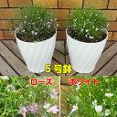 ☆宿根草 八重咲き かすみ草 ジプシー5号鉢
