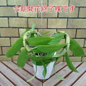 初心者でも安心の洋ラン デンドロビューム 4号陶器鉢 開花終了もの 解らない方は注文されないように・・・