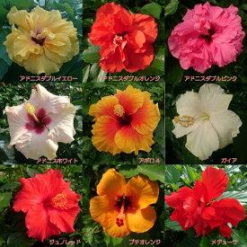 晩秋まで咲き続け毎年楽しめるハイビスカスロングライフシリーズ 5号鉢植え その2