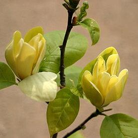 家庭樹木蓮 黄金モクレン 4.5号(直径13.5cm)ポット