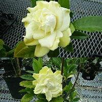 黄色い八重咲きくちなし1株