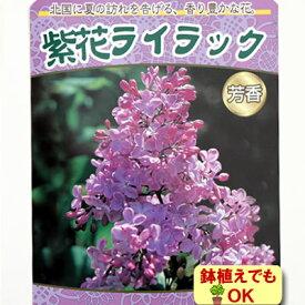 家庭樹落葉高木 ライラック 紫花 4.5号(直径13.5cm)ポット苗