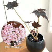 根茎性ベゴニア黒鷲B.Kurowashiそのまま飾れる陶器鉢植え1個花郷園オリジナル品種【N】