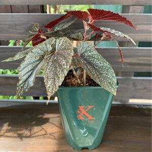 木立性ベゴニア ベニゴ B.Benigoそのまま飾れる花郷園オリジナルロゴ入りプラ鉢植え 1個