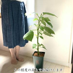 木立性ベゴニア 青柳 B.Aoyagiそのまま飾れる花郷園オリジナルロゴ入りプラ鉢植え 1個