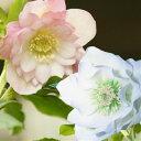 クリスマスローズダブル 八重咲きピンク&ホワイトの2株セット 2年生9cmポット苗 花郷園