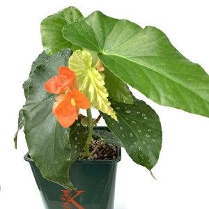 木立性ベゴニア ナポリアンサンセット 5号そのまま飾れる花郷園オリジナルロゴ入りプラ鉢植え 1個