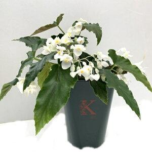 木立性ベゴニア ダイヤモンドリリー 5号そのまま飾れる花郷園オリジナルロゴ入りプラ鉢植え 1個