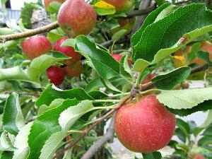 果樹苗 落葉高木リンゴ ( りんご ) ニュージョナゴールド 4.5号 直径13.5cmポット