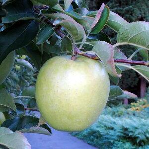 果樹苗 りんご 王林(受粉兼用) 4.5号(13.5cm)ポット
