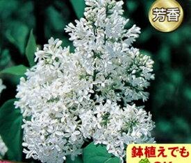 家庭樹落葉高木ライラック 白花 4.5号(直径13.5cm)ポット苗