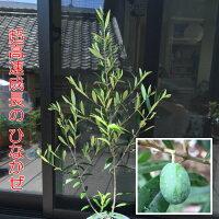 オリーブひなかぜ10.5cmポット1株常緑高木家庭樹シンボルツリーオリーブの実も!
