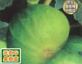 果樹苗イチジク(いちじく) マルセーユブラウン4.5号(直径13.5cm)ポット 1株