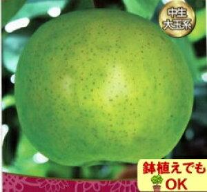 果樹苗落葉中高木ナシ ( 梨 ) 二十世紀 4.5号(13.5cm)ポット