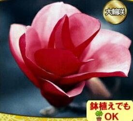 家庭樹木蓮 錦モクレン 4.5号(直径13.5cm)ポット