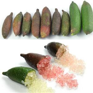 果樹苗 柑橘類 苗木 フィンガーライム 4.5号ポット 接ぎ木 3年生 選べる3品種 日本全国送料無料 果樹苗木 常緑樹 希少 キャビアライム